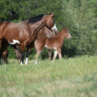 Peptowood x Copy Cat Filly